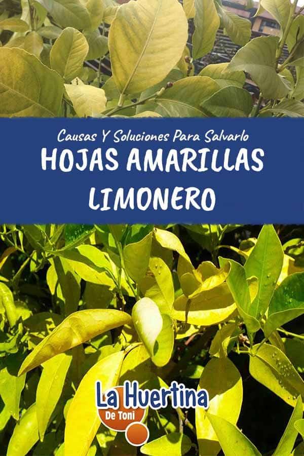 hojas amarillas en limonero causas