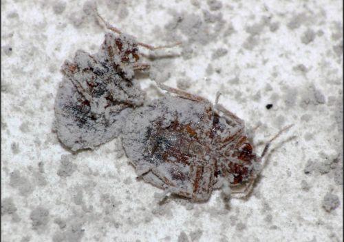 tierra de diatomeas dosis
