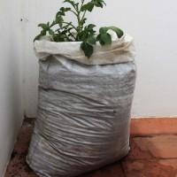 Cómo cultivar patatas en casa con sacos