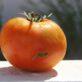Cultivo del Tomate: Plagas y Remedios