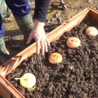 Como Sembrar Cebolla Para Semilla