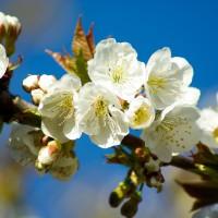 Compatibilidades de injertos en frutales