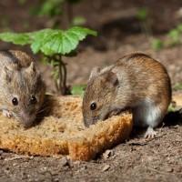 Como combatir ratas y ratones ecológicamente